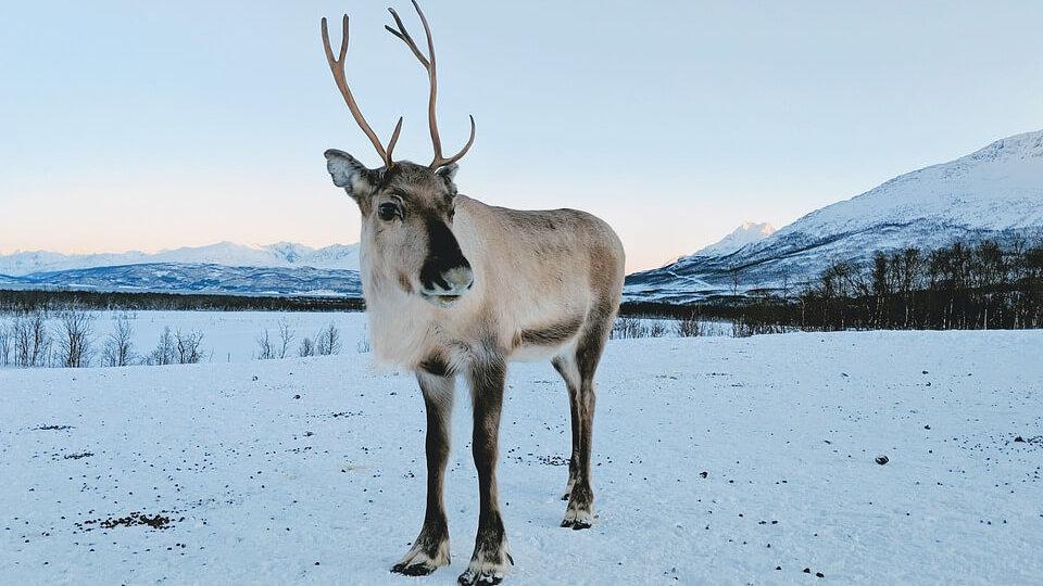 reindeer-4278119_960_720-e1576687205827.jpg